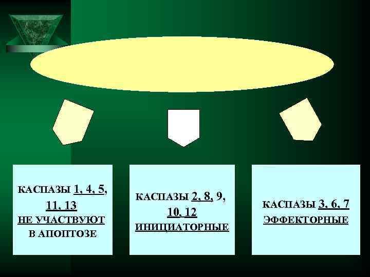 КАСПАЗЫ 1, 4, 5, 11, 13 НЕ УЧАСТВУЮТ В АПОПТОЗЕ КАСПАЗЫ 2, 8, 9,