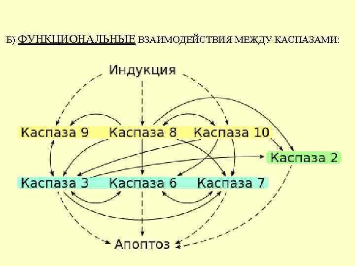 Б) ФУНКЦИОНАЛЬНЫЕ ВЗАИМОДЕЙСТВИЯ МЕЖДУ КАСПАЗАМИ:
