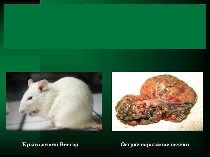 Крыса линии Вистар Острое поражение печени