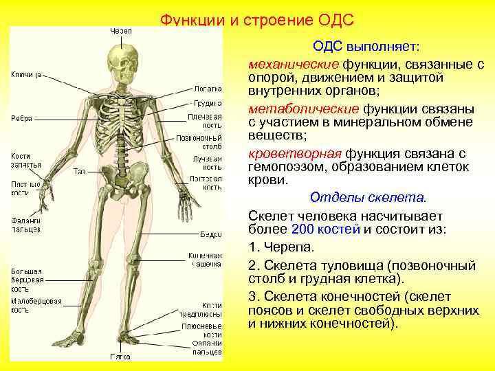 8 значение костейконспект урока 9 вид системы.скелет.соединение класс опорно-двигательной