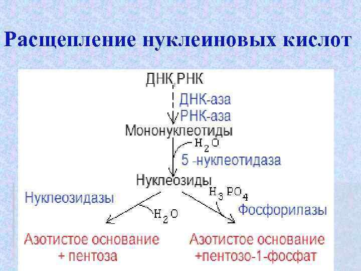 Расщепление нуклеиновых кислот