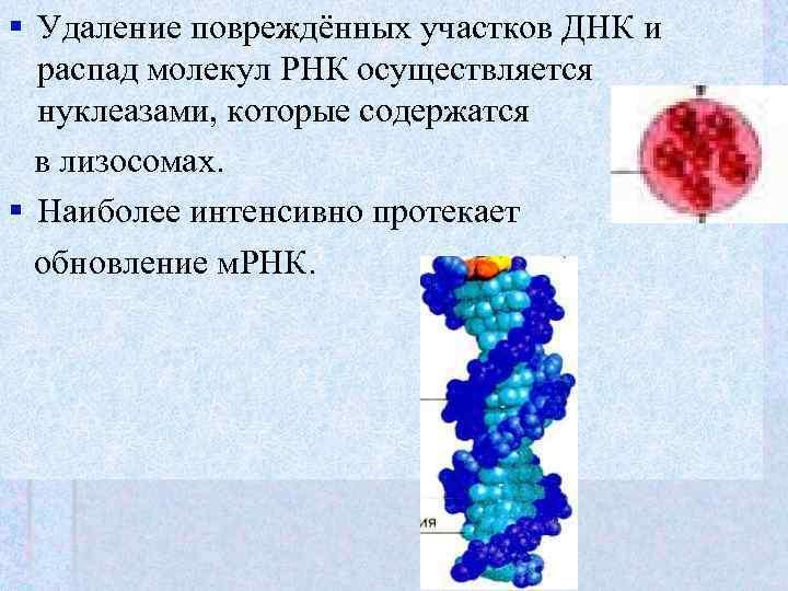 § Удаление повреждённых участков ДНК и  распад молекул РНК осуществляется  нуклеазами, которые