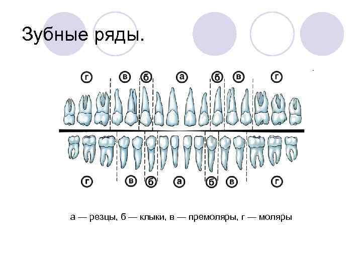 Зубные ряды.   а — резцы, б — клыки, в — премоляры, г