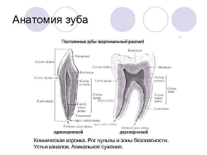 Анатомия зуба  Клиническая коронка. Рог пульпы и зоны безопасности. Устья каналов. Апикальное сужение.