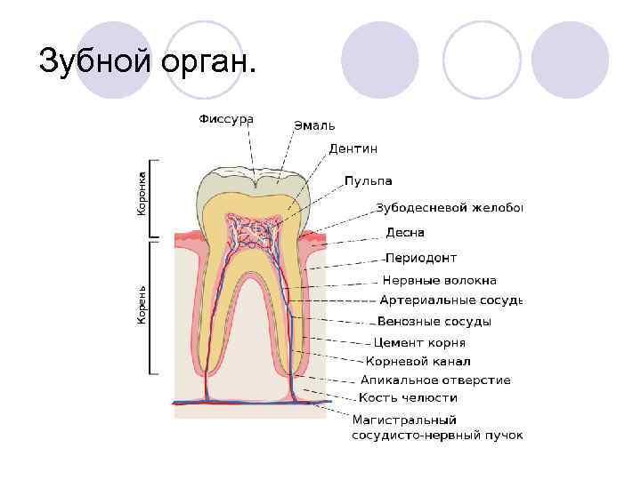 Зубной орган.