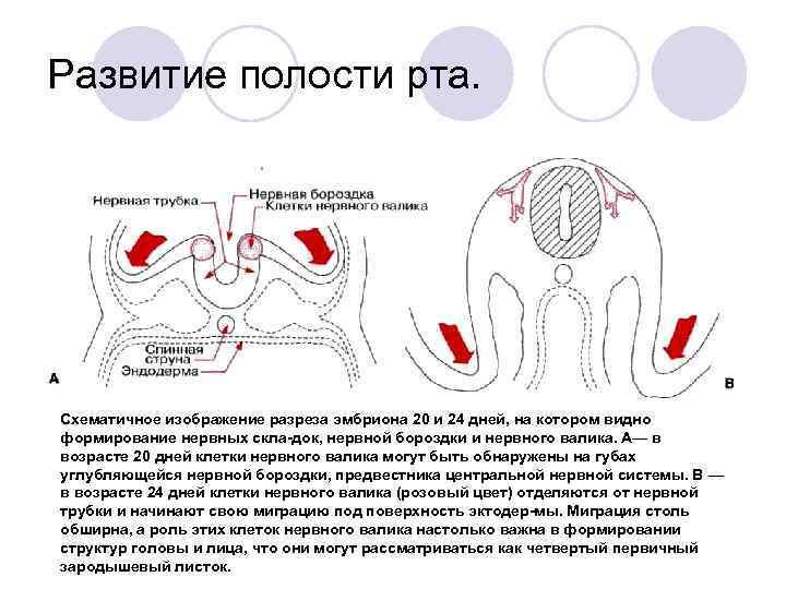 Развитие полости рта. Схематичное изображение разреза эмбриона 20 и 24 дней, на котором видно