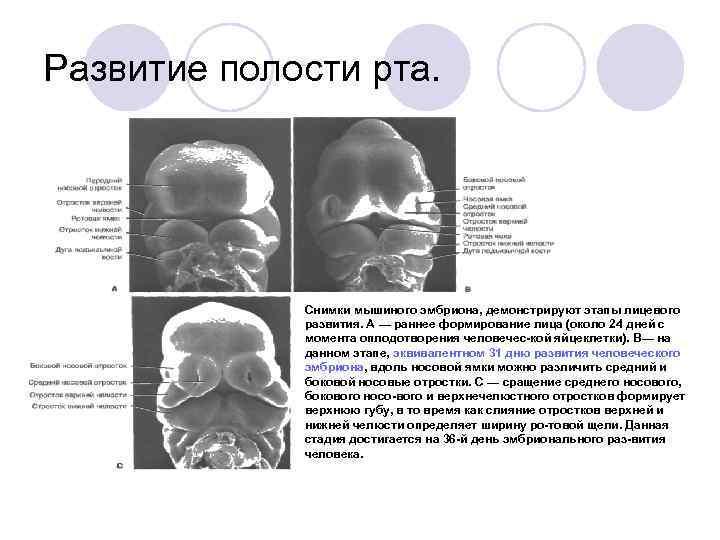 Развитие полости рта.    Снимки мышиного эмбриона, демонстрируют этапы лицевого