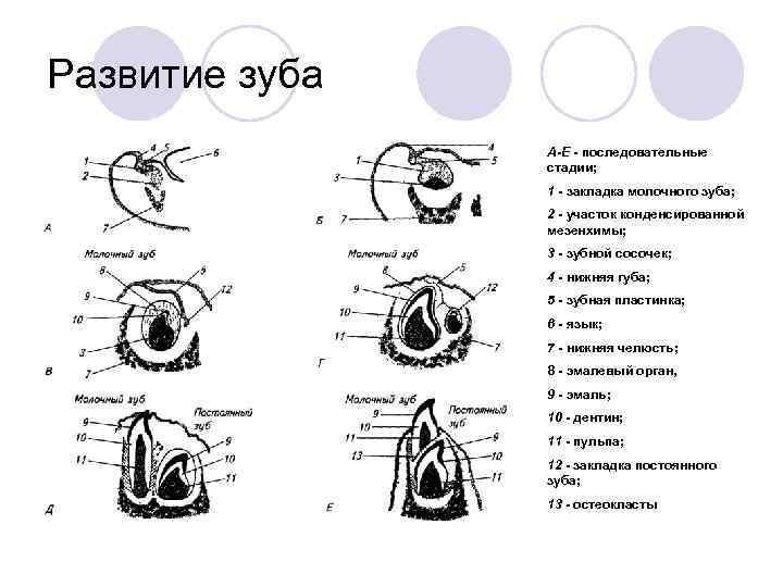 Развитие зуба   А-E  последовательные   стадии;    1
