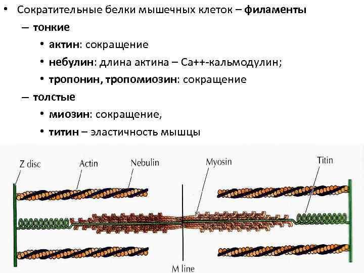 • Сократительные белки мышечных клеток – филаменты  – тонкие   •