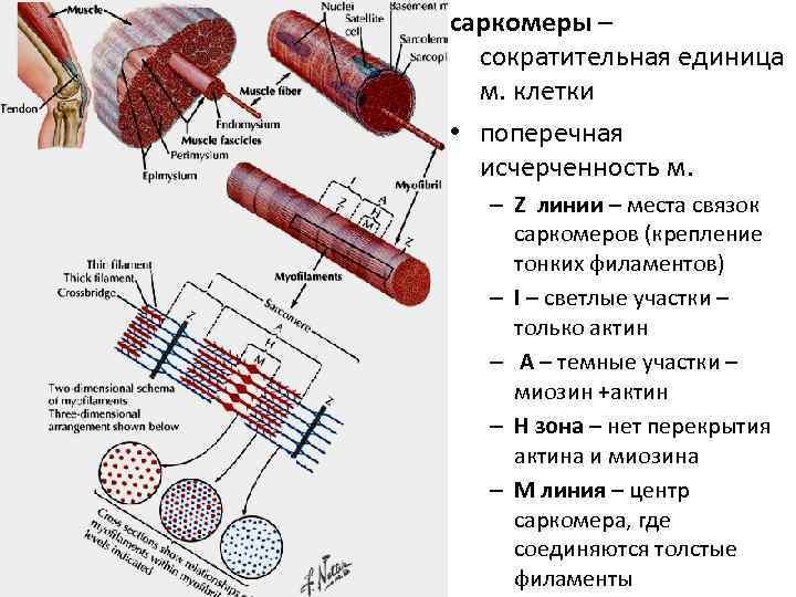 саркомеры –  сократительная единица  м. клетки • поперечная  исчерченность м.