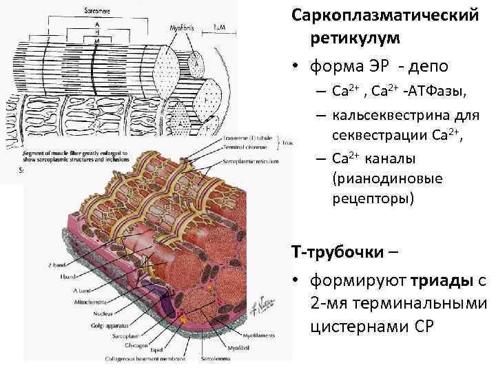 Саркоплазматический  ретикулум  • форма ЭР - депо  – Ca 2+ ,