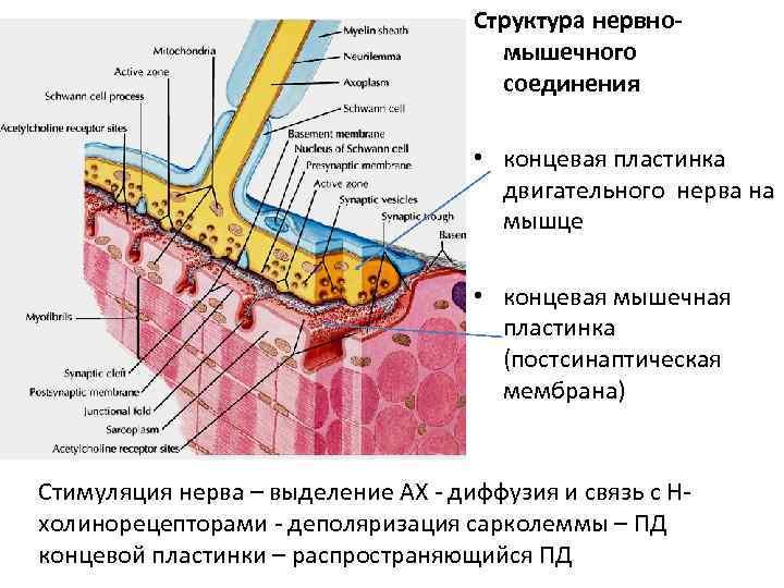 Структура нервно-    мышечного