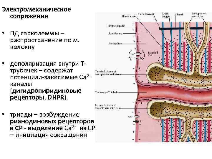 Электромеханическое  сопряжение  • ПД сарколеммы –  распространение по м. волокну