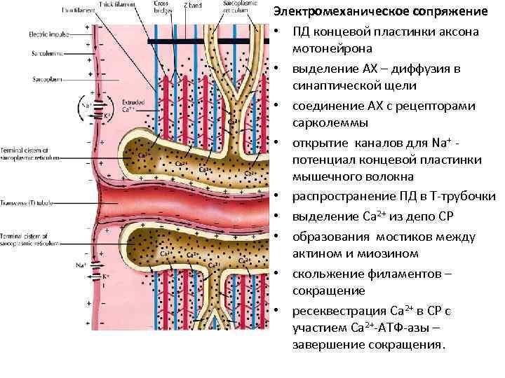 Электромеханическое сопряжение • ПД концевой пластинки аксона мотонейрона • выделение АХ – диффузия в