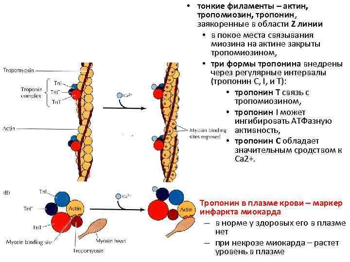 • тонкие филаменты – актин, тропомиозин, тропонин, заякоренные в области Z линии •