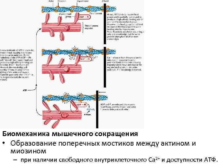 Биомеханика мышечного сокращения • Образование поперечных мостиков между актином и  миозином  –