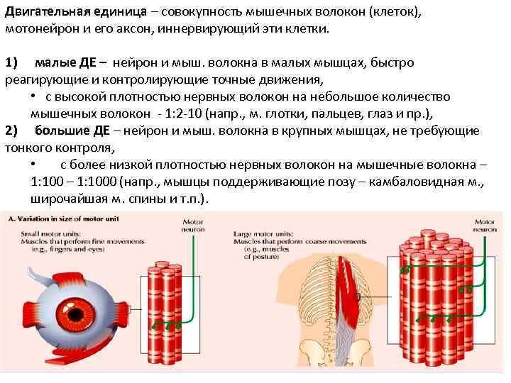Двигательная единица – совокупность мышечных волокон (клеток),  мотонейрон и его аксон, иннервирующий эти