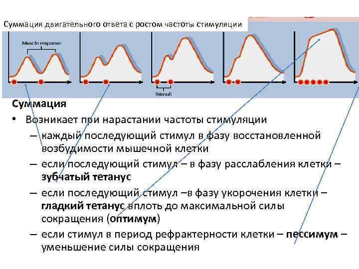 Суммация двигательного ответа с ростом частоты стимуляции  Суммация • Возникает при нарастании частоты