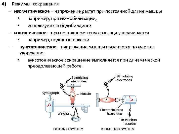 4)  Режимы сокращения – изометрическое – напряжение растет при постоянной длине мышцы
