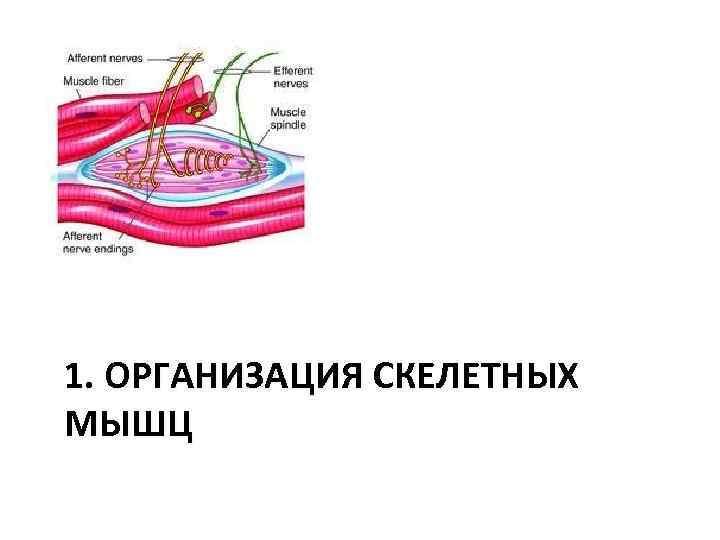 1. ОРГАНИЗАЦИЯ СКЕЛЕТНЫХ МЫШЦ
