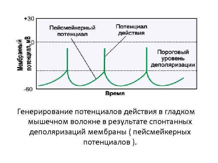 Генерирование потенциалов действия в гладком мышечном волокне в результате спонтанных деполяризаций мембраны ( пейсмейкерных