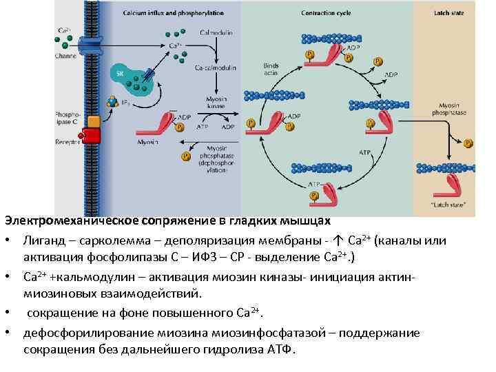 Электромеханическое сопряжение в гладких мышцах • Лиганд – сарколемма – деполяризация мембраны - ↑
