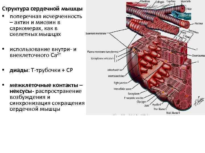 Структура сердечной мышцы • поперечная исчерченность – актин и миозин в саркомерах, как в