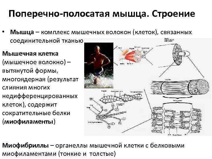 Поперечно-полосатая мышца. Строение • Мышца – комплекс мышечных волокон (клеток), связанных  соединительной