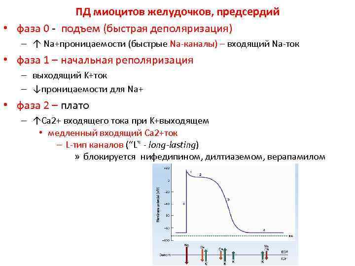 ПД миоцитов желудочков, предсердий • фаза 0 - подъем (быстрая деполяризация)