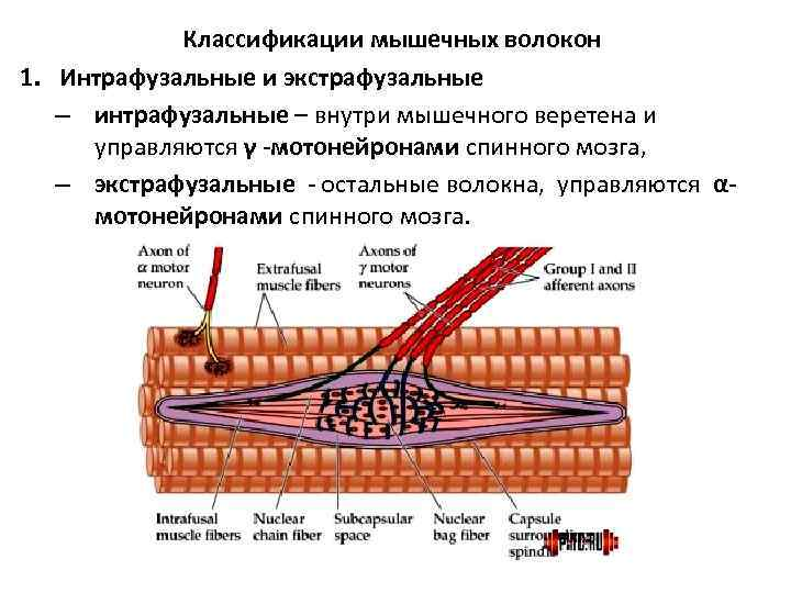 Классификации мышечных волокон 1. Интрафузальные и экстрафузальные  – интрафузальные – внутри