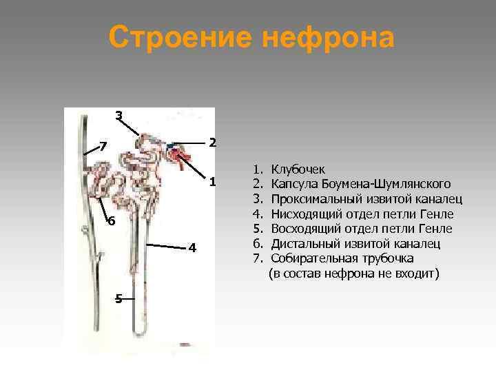 Строение нефрона 3 7  2   1. Клубочек