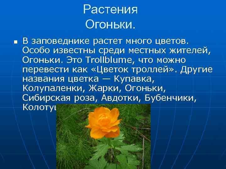 Растения   Огоньки. n  В заповеднике растет много