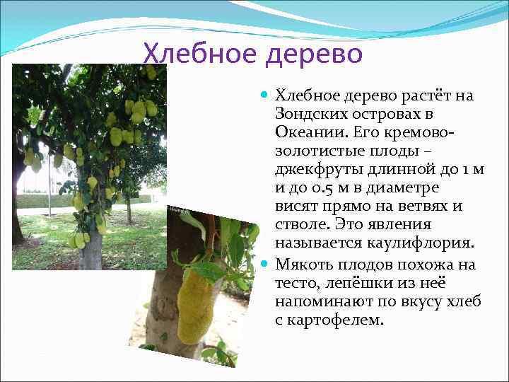 Хлебное дерево   Хлебное дерево растёт на   Зондских островах в