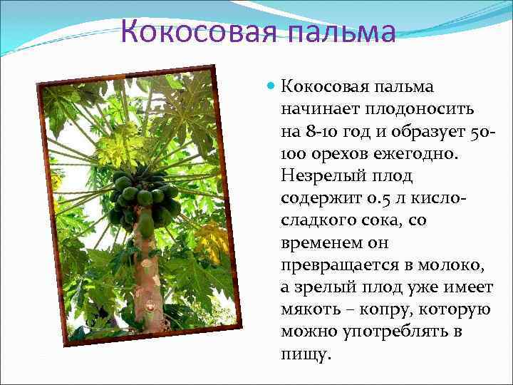 Кокосовая пальма  начинает плодоносить  на 8 -10 год и образует 50 -