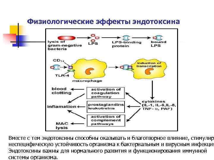 Физиологические эффекты эндотоксина   Вместе с тем эндотоксины способны оказывать и