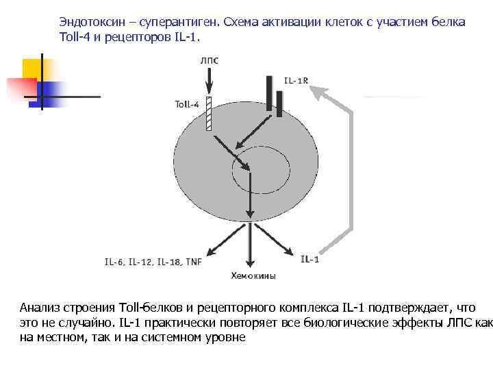 Эндотоксин – суперантиген. Схема активации клеток с участием белка  Toll-4 и рецепторов