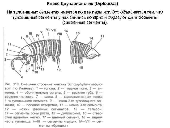 Класс Двупарноногие (Diplopoda) На туловищных сегментах имеется по две пары ног.