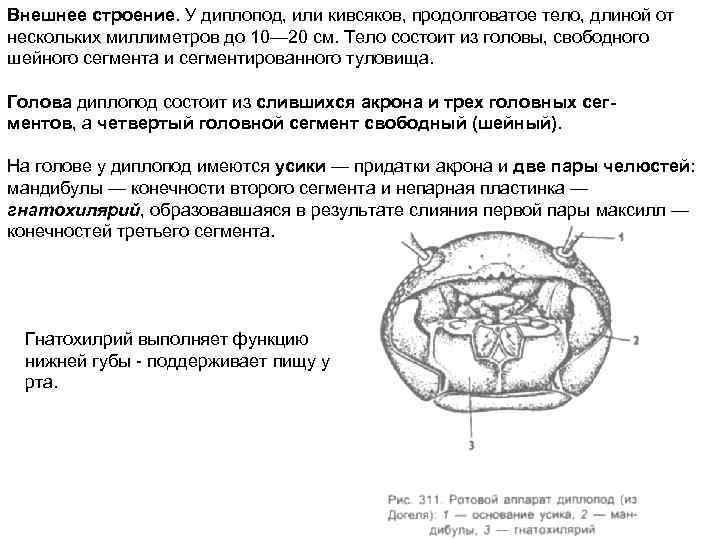 Внешнее строение. У диплопод, или кивсяков, продолговатое тело, длиной от нескольких миллиметров до 10—