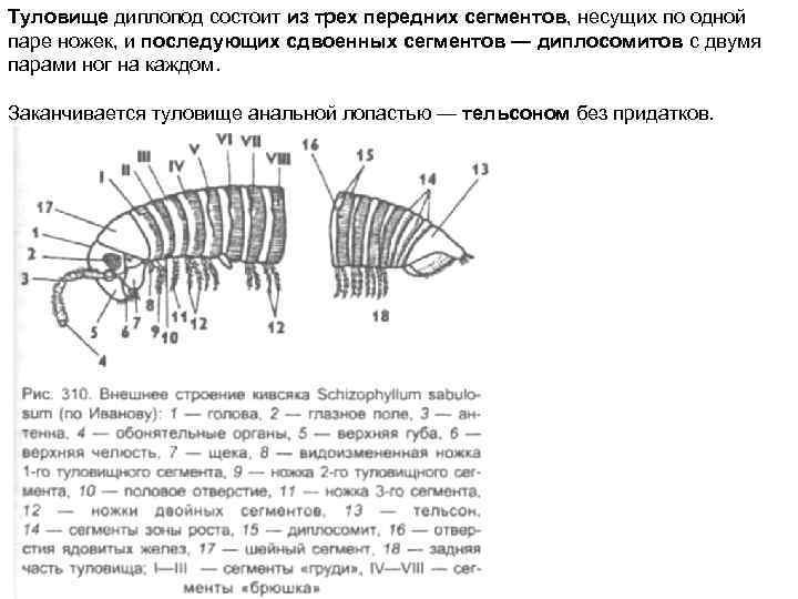Туловище диплопод состоит из трех передних сегментов, несущих по одной паре ножек, и последующих