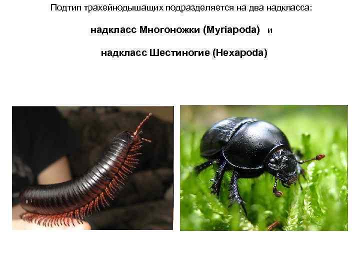 Подтип трахейнодышащих подразделяется на два надкласса:  надкласс Многоножки (Myriapoda) и  надкласс Шестиногие
