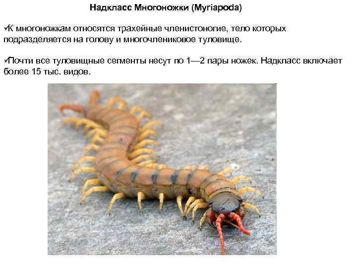 Надкласс Многоножки (Myriapoda) ü многоножкам относятся трахейные членистоногие, тело которых К