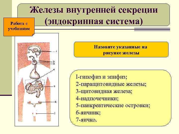 Железы внутренней секреции Работа с  (эндокринная система) учебником