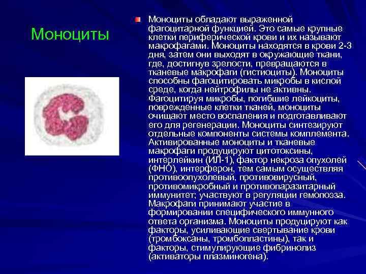 Моноциты обладают выраженной  фагоцитарной функцией. Это самые крупные Моноциты  клетки