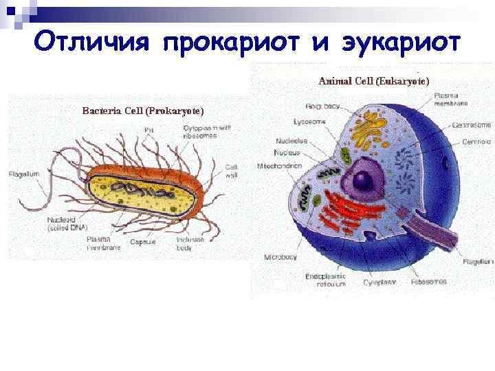 Отличия прокариот и эукариот