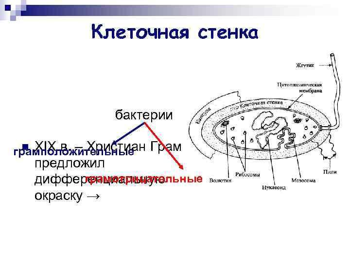 Клеточная стенка   бактерии грамположительные Грам n XIX в. –