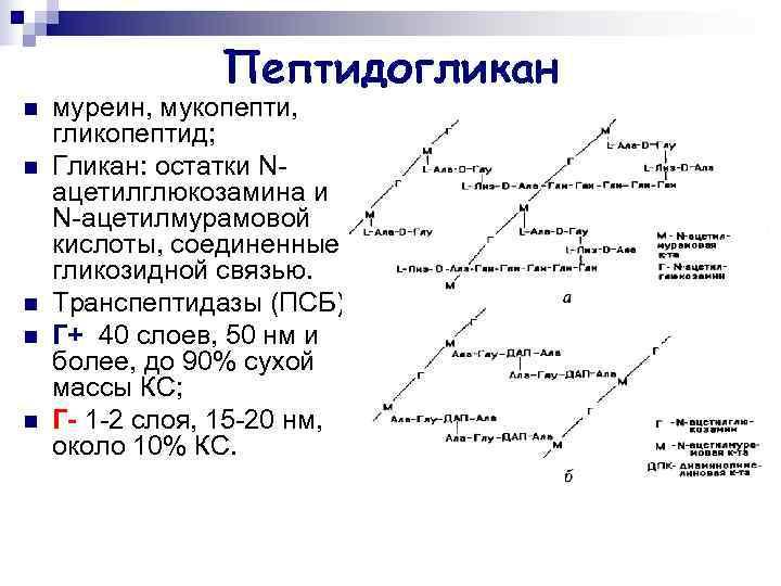 Пептидогликан n  муреин, мукопепти, гликопептид; n  Гликан: остатки