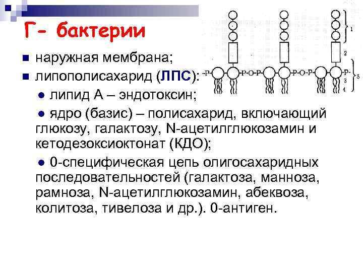 Г- бактерии n  наружная мембрана; n  липополисахарид (ЛПС): ● липид А –