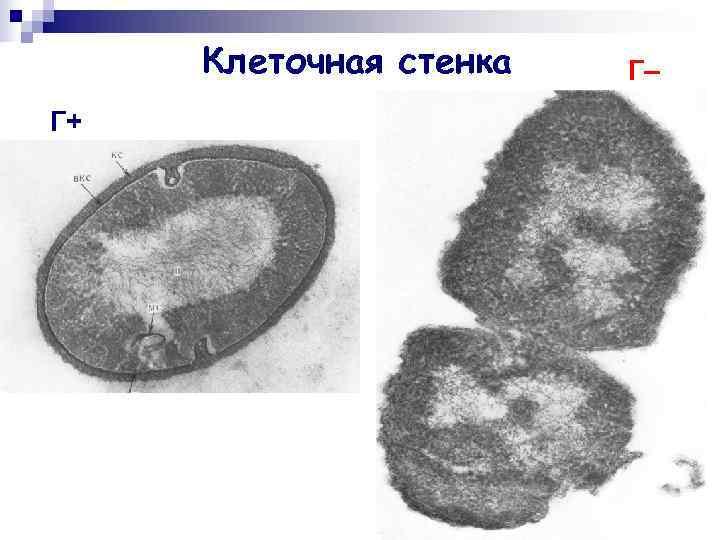 Клеточная стенка  Г– Г+