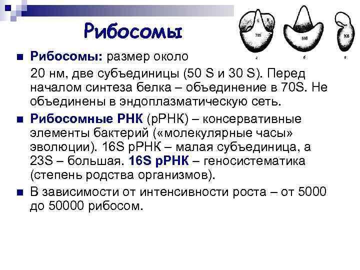 Рибосомы n  Рибосомы: размер около 20 нм, две субъединицы (50 S