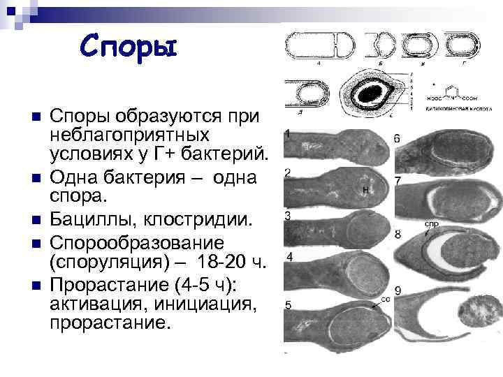 Споры n  Споры образуются при неблагоприятных условиях у Г+ бактерий. n